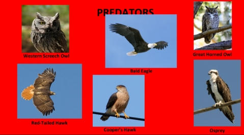 AudubonBirds-4