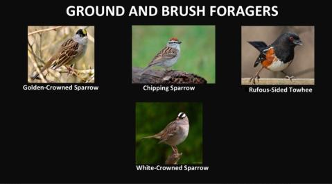 AudubonBirds-5