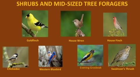 AudubonBirds-7